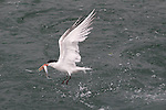 Elegant tern with fish at Moss Landing
