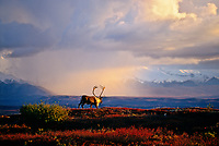 Bull caribou walks in the autumn tundra under stormy clouds over the Alaska Range, Denali National Park, Alaska.