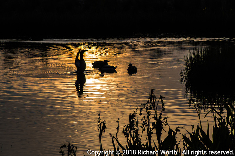 Silhouetted by sunset's golden glow, a trio of Mallards floats,  unconcerned, while a (likely) cormorant stretches its wings and generates ripples in the pool of a neighborhood park near San Francisco Bay's eastern shore.