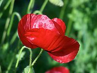 Poppy flower from Joan Gussow's garden
