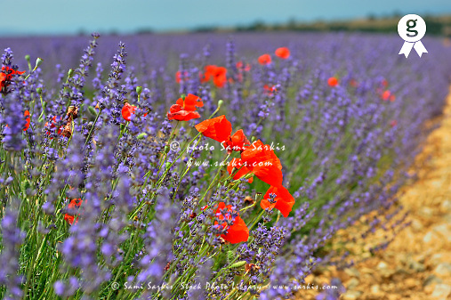 Poppies in a lavender field, Provence, France (Licence this image exclusively with Getty: http://www.gettyimages.com/detail/110048312 )