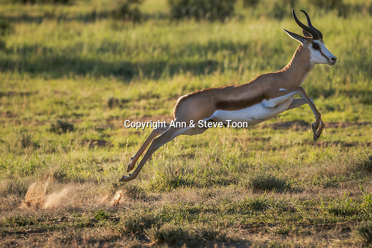 Springbok (Antidorcas marsupialis) leaping, Kgalagadi transfrontier park, Northern Cape, South Africa, January 2017