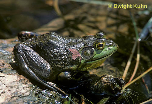FR08-004a  Bullfrog - adult in pond - Lithobates catesbeiana, formerly Rana catesbeiana