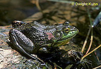 FR08-004a  Bullfrog - adult in pond - Lithobates catesbeiana, formerly Rana catesbeiana
