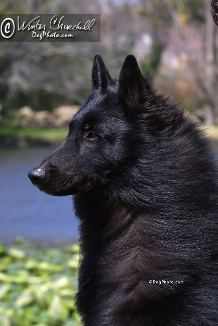 Belgian Sheepdog Shopping cart has 3 Tabs:<br /> <br /> 1) Rights-Managed downloads for Commercial Use<br /> <br /> 2) Print sizes from wallet to 20x30<br /> <br /> 3) Merchandise items like T-shirts and refrigerator magnets