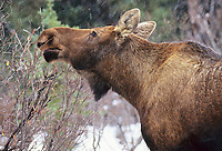 Cow moose browsing, Boreal forest and falling snow, Denali National Park, Alaska.