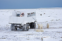 01874-11019 Polar bears (Ursus maritimus) near Tundra Buggy, Churchill, MB