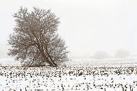 Leaning Tree in Winter Fog in Corn Field - Posterization effect applied