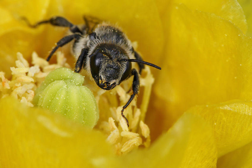 Solitary Mining Bee at a new cactus bloom in Spring.