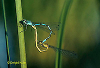 1O03-009z  Pond Damselflies mating - Enallagma spp.