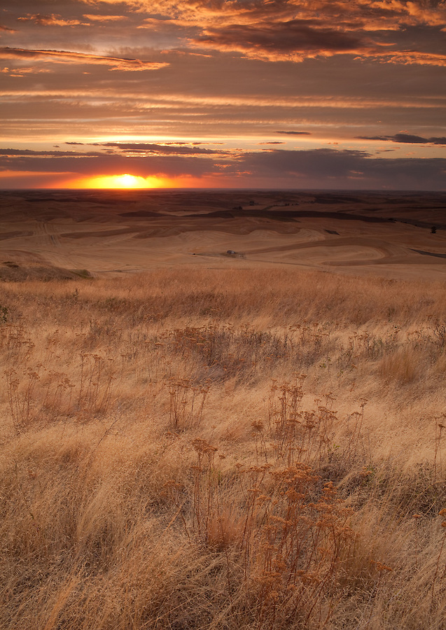 Wheat is baked in the hot dry sunlight near sunset in the Palouse of Eastern Washington State.