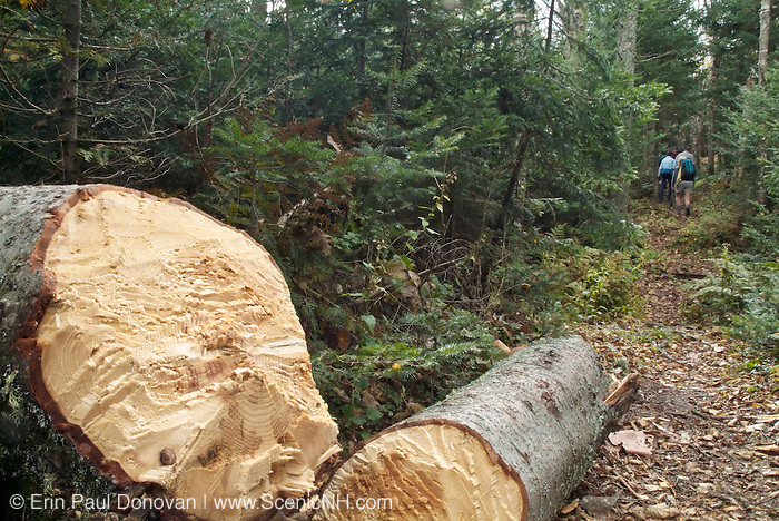 A freshly cut blowdown on Kilkenny Ridge Trail in Kilkenny, New Hampshire USA during the autumn months. The blowdown was removed with axe.