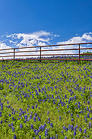 Bluebonnets on the hill side as they go up to this red fence with the nice blue sky and white clouds behind in a vertical format.