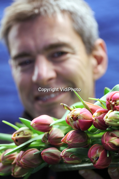 Foto: VidiPhoto<br /> <br /> OUDE NIEDORP - Voor afzet- en exportmanager Mark Wester van Triflor uit het Noord-Hollandse Oude Niedorp, is er maar &eacute;&eacute;n bloem die duidelijk zijn passie heeft: de oerdegelijke en wereldberoemde tulp. De op &eacute;&eacute;n na populairste snijbloem ter wereld is bepaald geen muurbloempje. Een tulp leeft echt. &ldquo;Hij groeit, wordt langer, zwieriger en gaat open en dicht in de vaas.&rdquo; Triflor is een all-round tulpenspecialist. In vestigingen in Nieuw-Zeeland, Frankrijk en natuurlijk Noord-Holland worden de bollen geteeld en gerooid om vervolgens  in Oude Niedorp in bloei te worden getrokken. Daarnaast steekt het bijna 50 jaar oude bedrijf van oprichter Henk van Dam veel tijd en geld in veredeling. Naast de 100 soorten -voornamelijk exclusieve tulpen die gebroeid worden- staan er nog zeker duizend naamloze vari&euml;teiten aan te komen. En volgens Wester zitten daar toppers onder. Het kost echter zo&rsquo;n vijftien jaar veredelen en vermeerderen voordat de nieuwe tulp bij de consument op tafel staat. Tot die tijd zijn er alleen kosten. En klein tipje van de sluier wil de manager wel oplichten. &ldquo;Er zit een prachtige pioen dubbel gefranjerde tulp aan te komen.&rdquo;