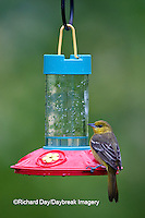 01618-01119 Orchard Oriole (Icterus spurius) female on hummingbird nectar feeder,  Marion Co., IL