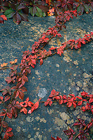 Virginia creeper<br />