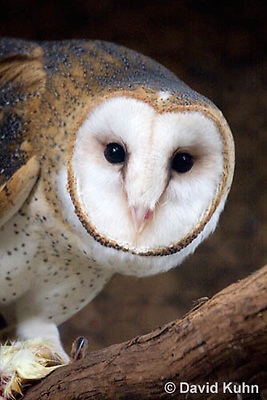 0507-0903  Barn Owl, Tyto alba  © David Kuhn/Dwight Kuhn Photography