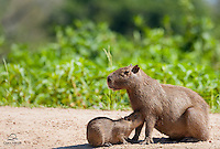 Mother Capybara (Hydrochaeris hydrochaeris) nurses her little one on the banks of the Cuiabá River, The Pantanal, Brazil.