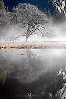 Yosemite Oak