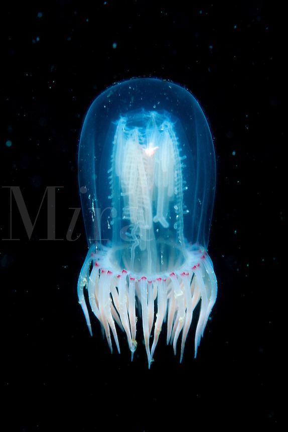 Jellyfish, Polyorchis penicillatus, Alaska, Pacific Ocean