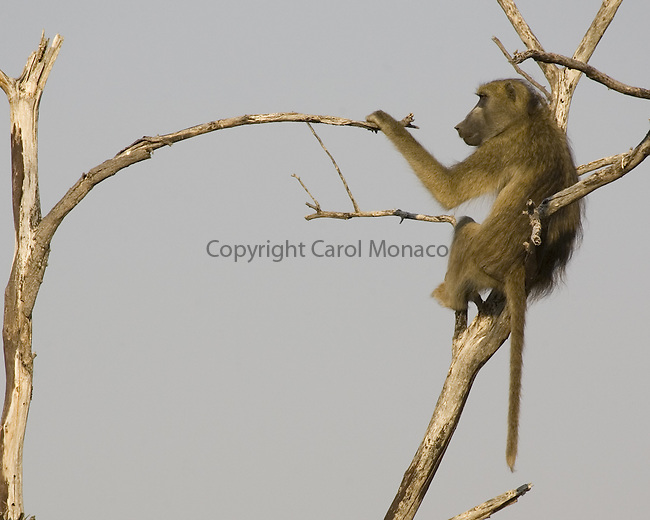 Chacma baboon in a tree in Botswana Africa-- acting as lookout for the group.