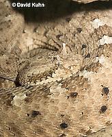0518-1107  Sidewinder Rattlesnake (Horned Rattlesnake), Crotalus cerastes  © David Kuhn/Dwight Kuhn Photography
