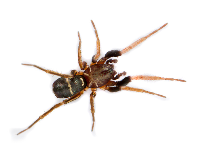 Micaria pulicaria - Male. Gnaphosid Ant Spider. Fast ground living diurnal hunter of open, stony, sunny habitats. Very common.
