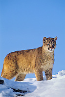 Mountain lion, cougar, or puma (Puma concolor). Winter.  Western U.S.