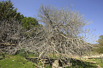 Isarael, Upper Galilee, a Fig tree in Ein Marganit