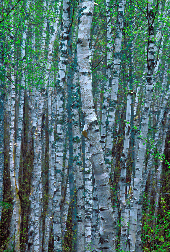 A stand of birches in spring in Pictured Rocks National Lakeshore near Grand Marais, Mich.