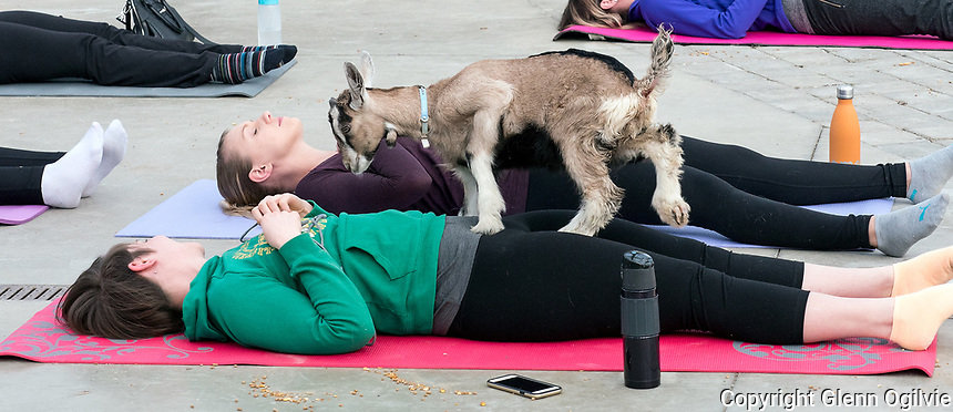 Sarnia Goat Yoga  at  DeGroot's Nurseries, Saturday March 11th, classes are 30 minutes due to time constraints. Regular classes are 60 minutes. Stephanie Cook, a Corunna native who owns a  hobby farm in Brooke-Alvinton Township said the class started out as one half hour demonstration class turned out to be three half hour sessions due to overwhelming response.