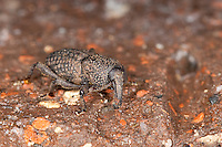 Wurzelstock-Rüssler, Düsterer Bergrüssler, Wurzelstockrüssler, Rüsselkäfer, Mitoplinthus caliginosus, Epipolaeus caliginosus, Hop Root Weevil
