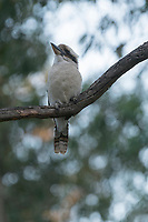 A laughing kookaburra (Dacelo novaeguineae) perched on a gum branch near Adelaide, South Australia.