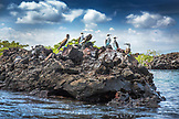 GALAPAGOS ISLANDS, ECUADOR, Isabela Island, blue footed boobies hang out on the rocks near Elisabeth Bay