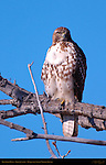 Red-tailed Hawk, Juvenile Light Morph, Bosque del Apache Wildlife Refuge, New Mexico
