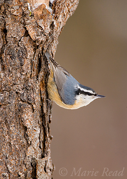 Red-breasted Nuthatch (Sitta canadensis), female clinging to a treetrunk head down, New York, USA