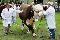 Hereford Bull with handlers at Three Counties Show agricultural event in Malvern, Worcestershire, England