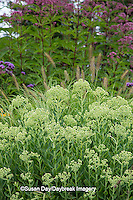 63821-23020 Autumn Joy Sedum (Sedum spectabile 'Autumn Joy') and Joe Pye Weed (Eupatorium purpureum)  Marion Co., IL