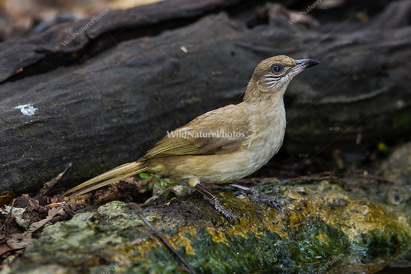 The Streak-eared Bulbul (Pycnonotus blanfordi) at a watering hole. (Kaeng Krachan, Thailand)