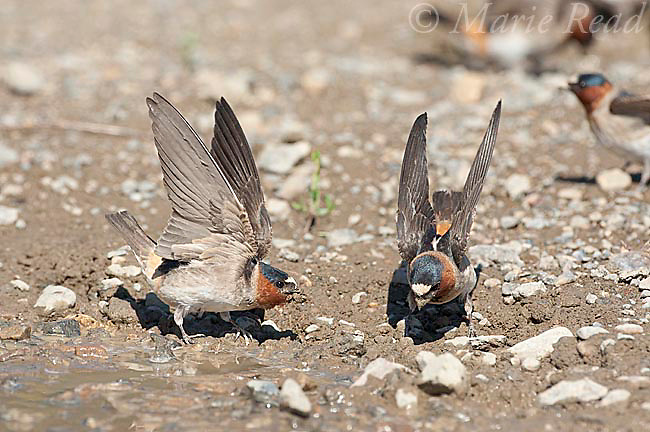 Cliff Swallows (Petrochelidon pyrrhonota) two coming to muddy puddle to gather mud as nesting material, Mono Lake Basin, California, USA