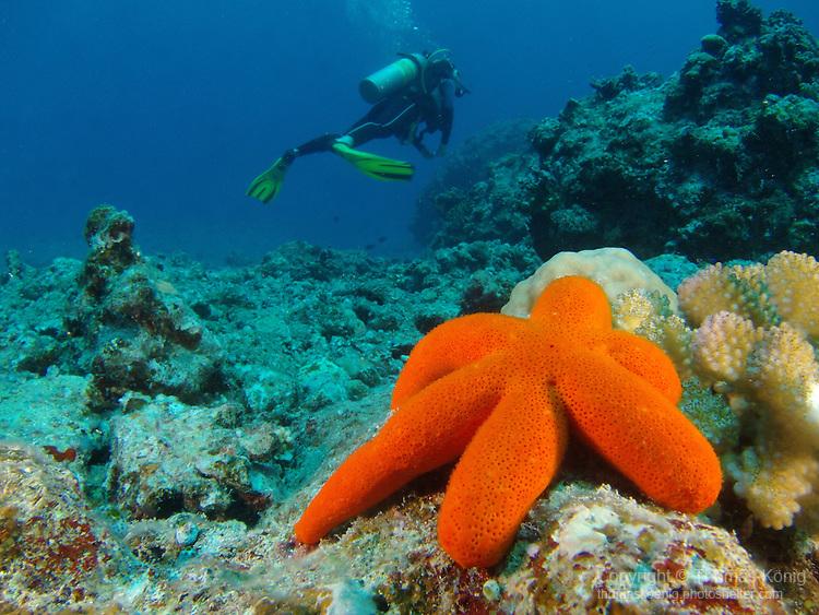 Blue Corner, Palau -- Orange starfish and diver.