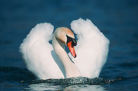 Mute swan (Cygnus olor), male swimming, Flachsee, Aargau, Switzerland