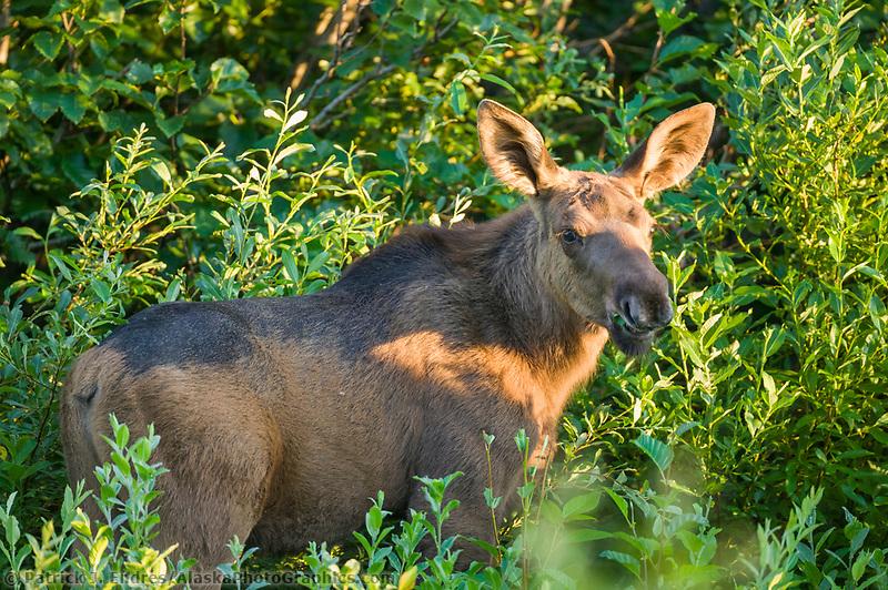 Moose calf, Portage Valley, Kenai Peninsula, Alaska