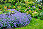 Vashon-Maury Island, WA: Summer perennial garden featuring a sweep of Walker's Low Catmint (Nepeta racemos) in bloom