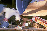 Striped Skunk - raiding household garbage..Ranges through southern Canada and most.of USA. (Mephitis mephitis).
