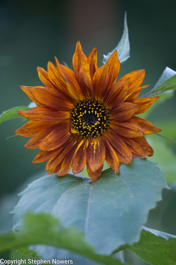 Sunflower in Palmer, Alaska.