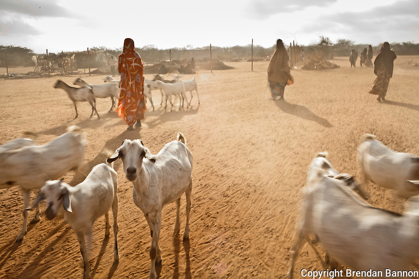 Kenya/Somali refugees.  Goats in search of pasture are walked through Ifo camp to the outskirts. livestock are dying in large numbers throughout the region. UNHCR/ Brendan Bannon/ August 2011