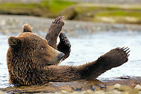 Coastal Brown Bear, Ursus arctos, 4 year old juvenile brown bear mischieviously playing with a floating log in the stream, Alaska Peninsula, Alaska