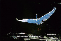 00696-00311 Snowy Egret (Egretta thula) in flight Everglades National Park,  FL