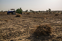 Harvested guar plants dry in piles in the sun on farmer Pemaram Jangu's, 70, agriculture field in Hameira village, Bikaner, Rajasthan, India on October 23, 2016. Non-Profit Organisation Technoserve works with Guar farmers in Bikaner to provide technical farming knowledge to them, improving their crop yield through good agricultural practices. Photograph by Suzanne Lee for Technoserve